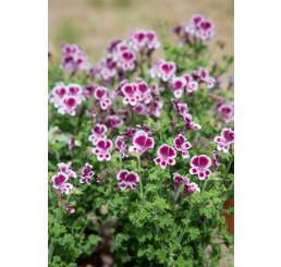 Pelargonium crispum ´pac®Angeleyes® Randy´ / Muškát anglický, K7