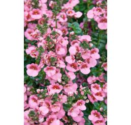 Diascia ´Elfjes® Rose XXL´ / Diascia, bal. 6 ks, 6x K7