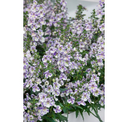 Angelonia ´pac®Angelos Bicolor´ / Angelónia, K7