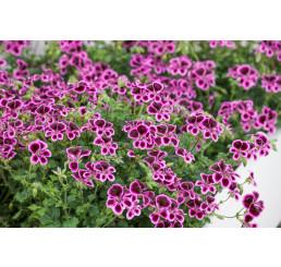 Pelargonium crispum ´pac® Angeleyes® Blueberry´ / Muškát anglický, bal. 3 ks, 3x K7