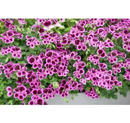 Pelargonium crispum ´pac® Angeleyes® Blueberry´ / Muškát anglický, bal. 6 ks sadbovačov