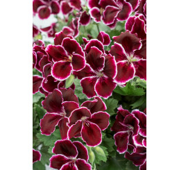 Pelargonium grandiflorum ´pac®Aristo® Black Beauty´ / Muškát veľkokvetý, K7