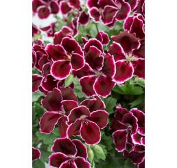 Pelargonium grandiflorum ´pac®Aristo® Black Beauty´ / Muškát veľkokvetý, bal. 6 ks sadbovačov