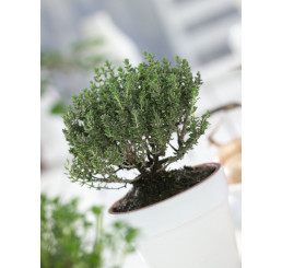 Thymus vulgaris ´Faustini´ / Tymián, K7
