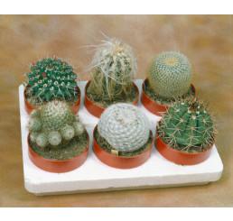 Cactacea mix / Kaktusy zmes, bal. 50 s