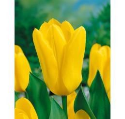 Tulipa ´Candela´ / Tulipán, bal. 5 ks, 12/+