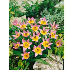 Tulipa ´Saxatilis´ / Tulipán, bal. 5 ks, 6/+