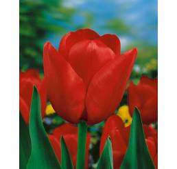 Tulipa ´Ile de France´ / Tulipán, bal. 5 ks, 11/12