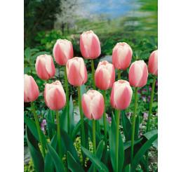Tulipa ´Ollioules´ / Tulipán, bal. 5 ks, 11/12