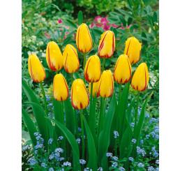 Tulipa ´La Courtine´ / Tulipán, bal. 5 ks, 11/12