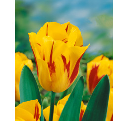 Tulipa ´Washington´ / Tulipán, bal. 5 ks, 11/12