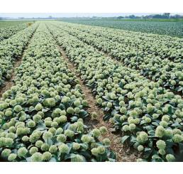 Allium karat. ´Ivory Queen´ / Okrasný cesnak, bal. 3 ks, 12/14