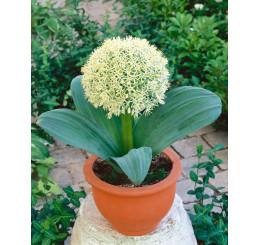 Allium Karataviense / Cesnak karatavský, bal. 3 ks, 10/12+