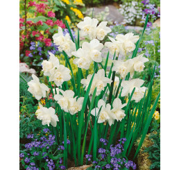 Narcis ´White Marvel´, bal. 5 ks, 12/14