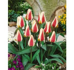 Tulipa ´Mary Ann´ / Tulipán, bal. 5 ks, 12/+