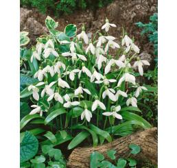 Galanthus woronowii / Snežienka, bal. 10 ks, 5/+