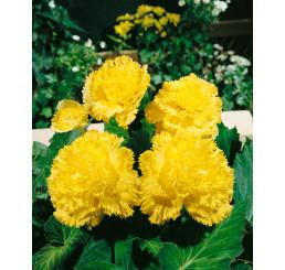 Begonia fimbriata ´Yellow´ / Begónia strapkatá žltá, bal. 3 ks, 5/+