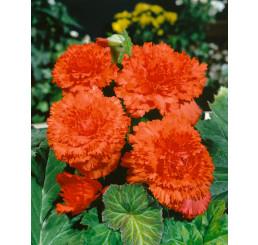 Begonia fimbriata ´Orange´ / Begónia strapkatá oranžová, bal. 3 ks, 5/+