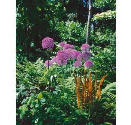 Allium giganteum / Obrovský cesnak, bal. 1 ks, 20/+