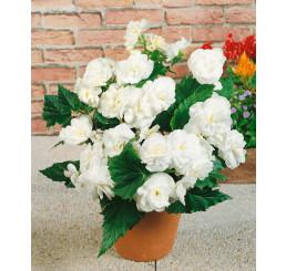 Begonia double ´White´ / Begónia veľkokvetá biela, bal. 3 ks, 5/+