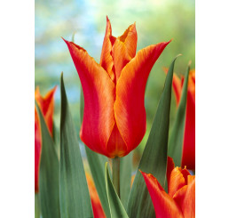 Tulipa ´Ballerina´ / Tulipán, bal. 5 ks, 12/+