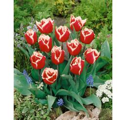 Tulipa ´Canasta´ / Tulipán, bal. 5 ks, 12/+