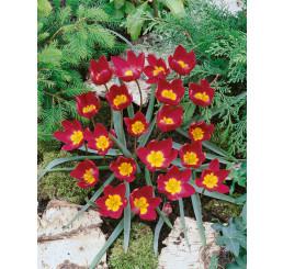 Tulipa ´Odalisque´ / Tulipán, bal. 5 ks, 6/+