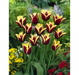 Tulipa ´Gavota´ / Tulipán, bal. 5 ks, 11/12