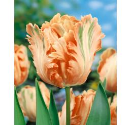 Tulipa ´Apricot Parrot´ / Tulipán, bal. 5 ks, 11/12