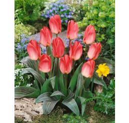 Tulipa ´Sweet Lady´ / Tulipán, bal. 5 ks, 11/12