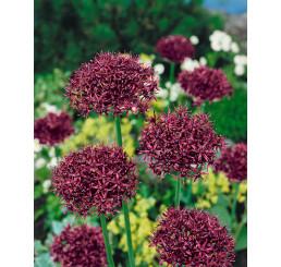 Allium ´Atropurpureum´ / Okrasný cesnak tmavopurpurový, bal. 3 ks, 10/12
