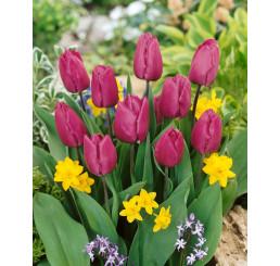 Tulipa ´Purple Prince´ / Tulipán, bal. 5 ks, 12/+