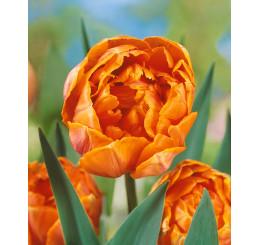 Tulipa ´Orange Princess´ / Tulipán, bal. 5 ks, 12/+