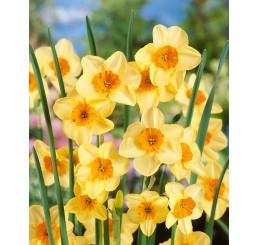 Narcis ´Kedron´, bal. 5 ks, 12/+