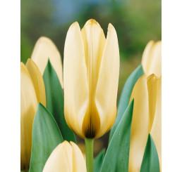 Tulipa ´Concerto´ / Tulipán, bal. 5 ks, 11/12