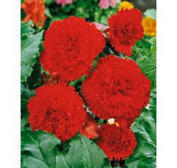 Begonia fimbriata ´Red´ / Begónia strapkatá červená, bal. 3 ks, 5/+