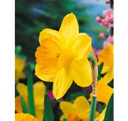 Narcis ´Pink Charm´, bal. 5 ks, 12/14