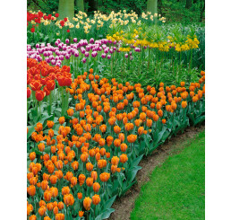Tulipa ´Prinses Irene´ / Tulipán, bal. 5 ks, 11/12