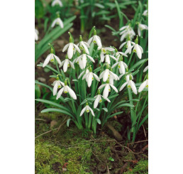 Galanthus nivalis / Klasické snežienky, bal. 10 ks, 5/6