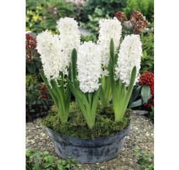 Hyacint ´Aiolos´, bal. 3 ks,