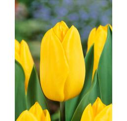 Tulipa ´Strong Gold´ / Tulipán, bal. 5 ks, 11/12