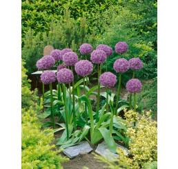 Allium Globemaster / Obrovský cesnak, bal. 1 ks, 20/22