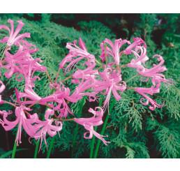 Nerine bowdenii ´Pink´ / Nerina ružová, bal. 3 ks, 12/14