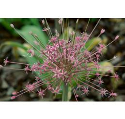 Allium ´Schubertii´ / Okrasný cesnak, 12/+