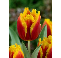 Tulipa ´Davenport´ / Tulipán, bal. 5 ks, 11/12