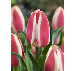 Tulipa ´Coors´ / Tulipán, bal. 5 ks, 11/12