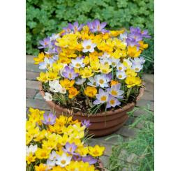 Crocus botanicus mix / Zmes botan. šafranov (krokusov), bal. 50 ks, 5/7