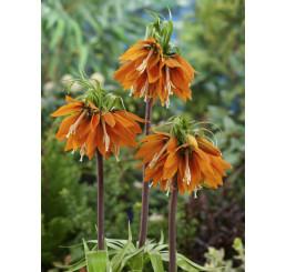 Fritillaria imperialis ´Aurora´ / Cisárska koruna oranžová, 24/+