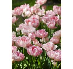 Tulipa ´Angelique´ / Tulipán ´Angelika´, bal. 5 ks, 11/12
