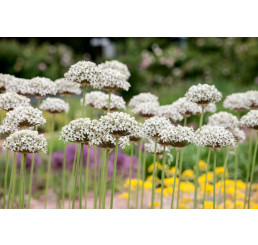 Allium ´Nigrum (Multibulb.)´ / Okrasný cesnak čierny, bal. 3 ks, 10/12